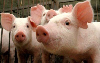 IEA divulga a estimativa da Produção Animal para 2017