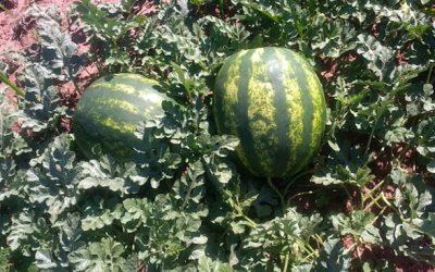 Projeto pioneiro da Syngenta emprega recursos digitais em lavouras de melancia