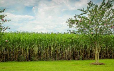 Safra de cana estimada em 635 milhões de t terá produção de 30 bilhões de litros de etanol