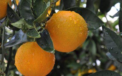 Número de fazendas com selo verde cresce 500% em quatro anos na citricultura brasileira
